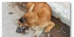 HELP STOP THIS BRUTAL ANIMAL CRUELTY!  Demand Bhaktapur, Nepal, to STOP Poisoning Stray Dogs!  India has a people problem, not a companion animal problem! IMPLEMENT SPAY NEUTER PROGRAMS IMMEDIATELY!  PLZ Sign & Share!!!