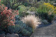 Photographing native plants with Saxon Holt - Purple Three-Awn grass in California native plant garden Xeriscape, Plants, Grasses Landscaping, Native Plants, Native Plant Landscape, Backyard Trees, Native Garden, Native Plant Gardening, Desert Plants
