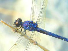 The dragonfly totem carries the wisdom of transformation and adaptability in life. As spirit animal, the dragonfly is connected to the symbolism of change and light. When the dragonfly shows up in your life, it may remind you to bring a bit more lightness and joy into your life. Those who have this animal as totem may be inclined to delve deep into their emotions and shine their true colors.