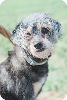 Brownsville, TX - Border Terrier/Silky Terrier Mix. Meet Sarah a Dog for Adoption.