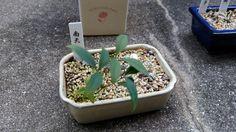 ナンテンのミニ盆栽。