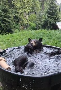Black bear plays in his tub - aww Like Animals, Cute Funny Animals, Animals And Pets, Baby Animals, Baby Pandas, Bear Pictures, Cute Animal Pictures, Yoga Position, American Black Bear