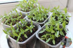 Плохо растет рассада перца – что делать, если не идет в рост, чем подкормить, причина, почему не растет, подкормка народными средствами и препаратами