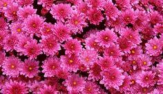 Crisantemos, plantas que florecen en otoño