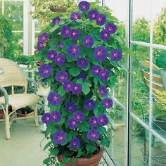 Morning glories in pot with smaller trellis or just a round of chicken wire or could put in a hanging basket