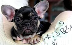 French Bulldog Puppies For Sale, dogs for sale Dog Training Methods, Basic Dog Training, Dog Training Techniques, Training Your Puppy, Training Dogs, French Bulldog Puppies, French Bulldogs, English Bulldogs, Puppy Obedience Training