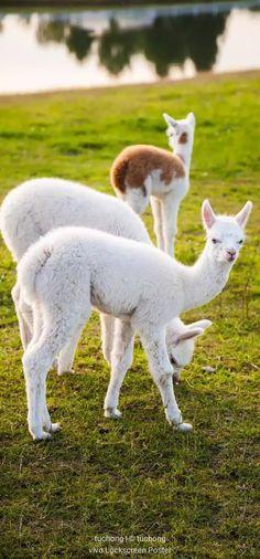 Unique Animals, Nature Animals, Farm Animals, Cute Animals, Alpacas, Camels, Cute Animal Pictures, Four Legged, Haiku