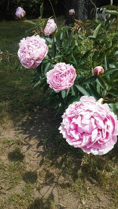 Large pink flower bloom pink bushes flowers pinterest flowers mightylinksfo
