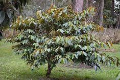 Star Apple, Apple Tree, Herbal Plants, Mindanao, All Plants, Herbal Remedies, Herbalism, Flora, Herbs