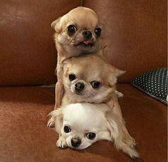 three scoops of chihuahua -- omg, so cute, haha!  ❤️️