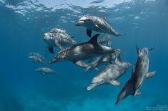 Indo-Pacific bottlenose dolphins (Tursiops aduncus) swimming freely close to the surface on a sunny day in Hurghada.