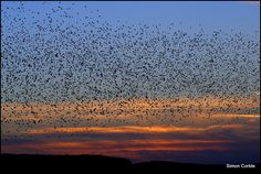 Dancing Cloud of Migrating Starlings Amazing to See