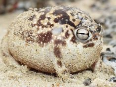 the Namaqua Rain Frog