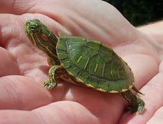Baby turtle, sold as a pet in discount & dept. stores