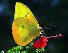 Orange-barred Sulphur the-beauty-of-brazil