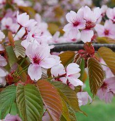 Stockholms gröna rum: Bergskörsbär - Prunus sargentii