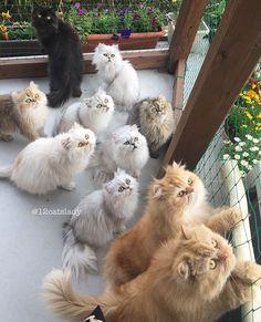 Cette 'Femme aux 12 chats' affole Instagram avec les photos de ses persans - page 3 More