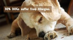 If your pup is scratching, licking paws, or has recurring ear infections, he probably has allergies. Give him Doggy Goo - a natural cure. This stuff WORKS!