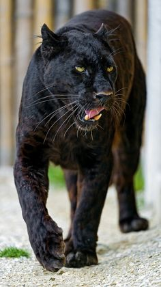 Blacky walking and showing his tongue by Tambako the Jaguar on Flickr.