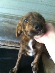 Francine is an adoptable Wirehaired Terrier Dog in Chipley, FL. This is 'Francine' female young around 6-8 months old she is very submissive and shy but very sweet she has a unique face looks like a w...