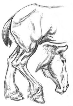 Clydesdale Horse hindquarters & head drawing - Gary Geraths