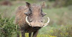 """nice Vlakvark en die Leeu Grap Vlakvark kom by die 3 leeu welpies aan en sê vir hulle: """"Vanaand Spyker ek julle ma!""""  https://www.sapromo.com/vlakvark-en-die-leeu-grap/7103"""