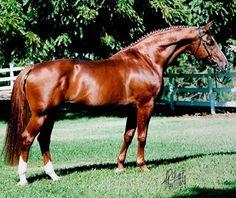 Red horse: TB/Trakehner stallion