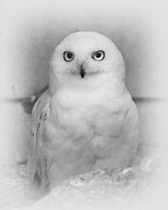 Snowy Owl Portrait by Coigach on DeviantArt