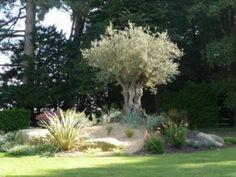 décoration jardin avec un olivier