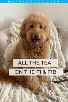 Curious about Goldendoodles? Get all the tea on the F1 and F1B Goldendoodle including a side-by-side comparison checklist. Spoiler alert: You may fall in love with both Red Goldendoodle, Goldendoodle Grooming, Goldendoodles, You Doodle, Doodle Dog, Purebred Golden Retriever, Poodle Mix Breeds, The Fl, Australian Labradoodle