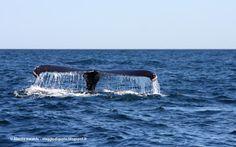 Viaggio Di Gusto: Uno sfondo alla settimana - Balena in Nuova Scozia...