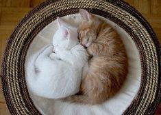 orange tabby kitten spooning a white kitten.