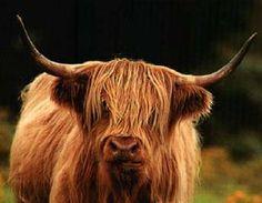 Scottish Highland Cow.  Shaggy!
