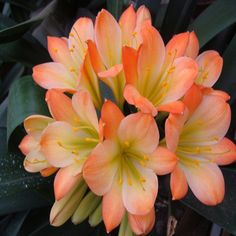 Pastel Clivia