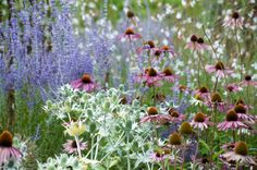 Garden ideas, Border ideas, Plant Combinations, Flowerbeds Ideas, Summer Borders, Echinacea purpurea, Coneflower, Sea Holly,  Eryngium Giganteum, Coneflowers, Pink flowers, Purple flowers, Russian sage, Gaura