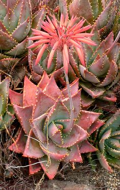 Aloe perfoliata (syn. Aloe mitriformis) is a hardy creeping aloe from the Western Cape, South Africa.  It flowers in Summer and the foliage turns red in dry conditions.