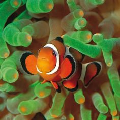 Pez Payaso- Palma Aquarium