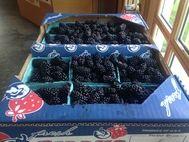 Blueberries blackberries Texa blueberry farm farms Pick your own Blueberry Plants for sale Blackberry Plants for sale, Pick 'n Edom Edom, TX Home