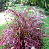 Pennisetum setaceum 'Fireworks' Variegated Purple Fountain Grass; the first variegated purple fountain grass. The midvein is the typical burgundy color and is flanked by hot pink margins. Produces beautiful red-burgundy foxtail flowers. Great accent plant and excellent in containers.  Cut back in late winter to expose new foliage..
