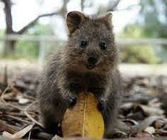 Quokkas - quite possibly the happiest animals on the planet