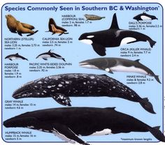 Species of marine mammals commonly seen in Southern BC & Washington http://en.wikipedia.org/wiki/Baleen