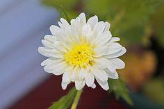 White Callistephus Chinensis 1