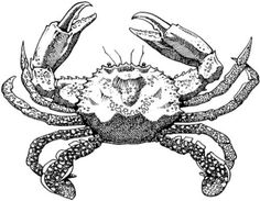 Drawing of a mud crab (Scylla serrata). Size and possession limits minimum size - 15cm possession limit - 10 female mud crabs are protected throughout Queensland and are therefore prohibited from being in anyone's possession without a permit.