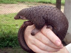 """The incredible pangolin has been described as both a """"scaly anteater"""" and a """"cross between a sloth and an armadillo."""" Meet seven species of one of the most fascinating animals on the planet. Baby Pangolin, Pet Peeves, Animals Of The World, Endangered Species, Cute Baby Animals, Animal Babies, Odd Animals, Savages, Nature"""