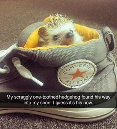 hedgehogs are so cute