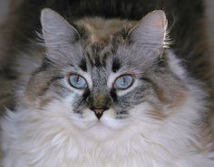 Siberian Forest Cat | ... | Tags: Breed , hypo-allergenic , hypoallergenic cats , siberian cat