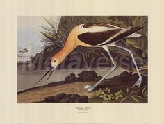 American Avocet, John James Audubon