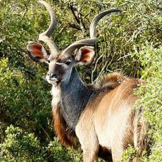 Just a great #PhotoOfTheDay by #MarkdeScande #Kudu #AddoElephantNationalPark