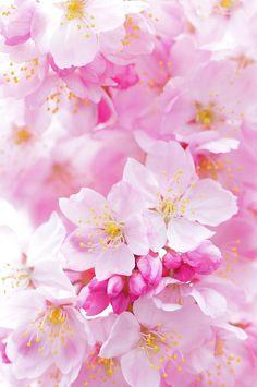 cherry blossoms....