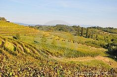 Winery and vines in the winelands with vineyards italy winemaking in the north of Italy Friuli